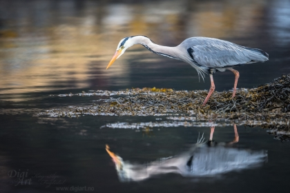 Grey Heron Reflection | Speilbilde av Hegre