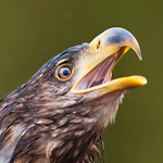 Havørn som skriker | White-tailed Eagle screaming